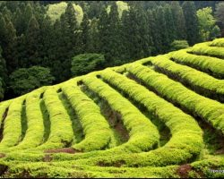 Off the Beaten Path: The Boseong Green Tea Fields in South Korea