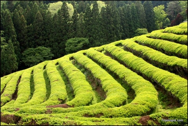 The terraced rows of green tea at the Boseong Green Tea Fields in South Korea.