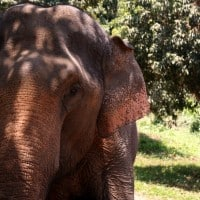 An Asian elephant poses for the camera at Baan Chang Elephant Park in Chiang Mai, Thailand.