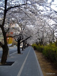 A canopy of cherry blossoms on Yeouido Island.