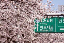 The 2018 Yeouido Cherry Blossom Festival in Seoul