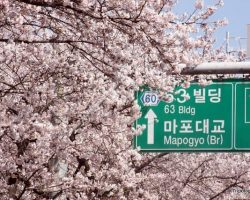 The 2018 Yeouido Cherry Blossom Festival in Seoul