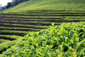 A close-up of a green tea bush with the rest of the Boseong Green Tea Field in the background.