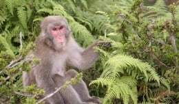 A Japanese macaque monkey sits at the Monkey Park outside of Kyoto, Japan.