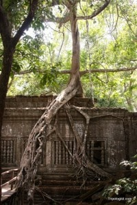 One of the many trees growing over the ruins at Beng Mealea Temple.