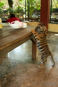 A three-month old tiger tries to reach a bag of treats on the table at Tiger Kingdom.