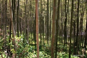 Walking through a bamboo forest can be very relaxing.