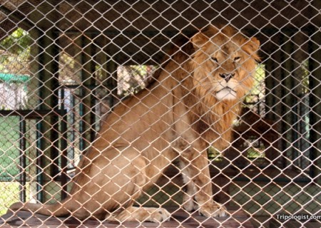The lion of Chiang Mai, Thailand's Tiger Kingdom.