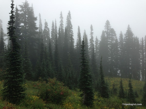 A foggy grouping of trees in Mount Rainier National Park.