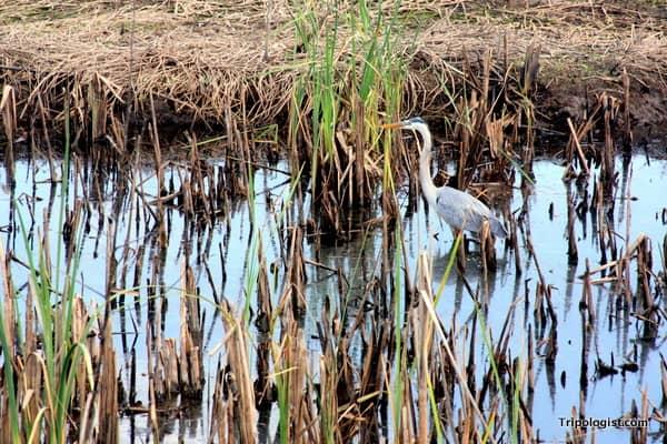 A beautiful bird at the Savannah National Wildlife Refuge.