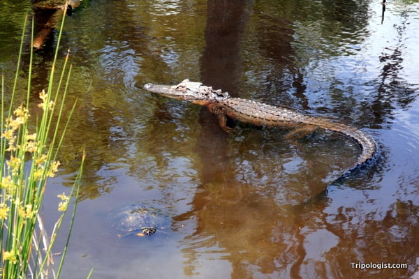 A small alligator swims in a pond at the Savannah National Wildlife Refuge.