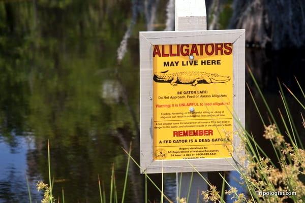 Savannah National Wildlife Refuge alligators