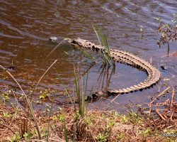 Alligator Spotting at the Savannah National Wildlife Refuge