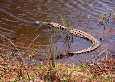 An alligator at the Savannah National Wildlife Refuge.