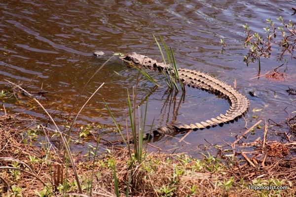 An alligator at the Savannah National Wildlife Refuge.