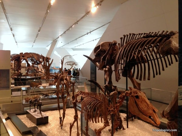 A collection of dinosaur fossils on display at the Royal Ontario Museum in Toronto, Canada.
